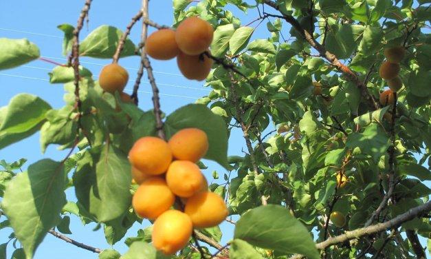 Les abricots du jardin !