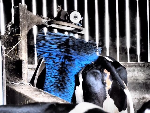 massage d'une vache laitière Madame Loïk