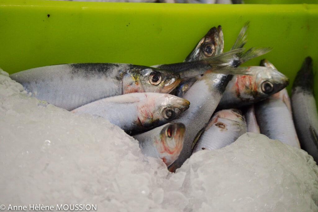 Arrivage des sardines