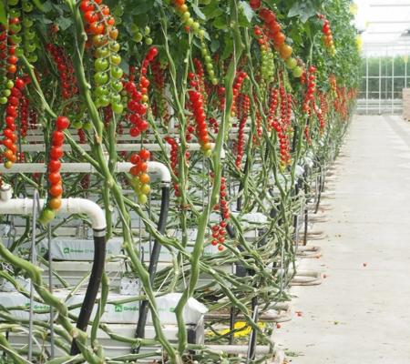 production d tomates sous abri