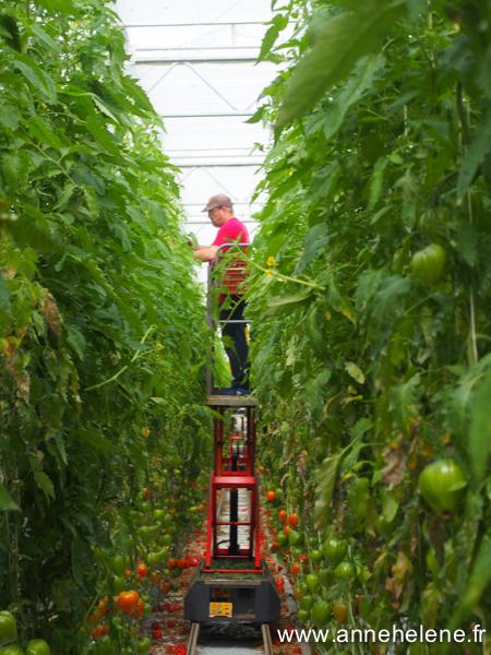 foret de tomate
