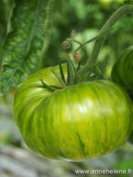tomate zebra queen